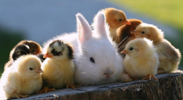 cute-little-bunny-and-chickens-730x400